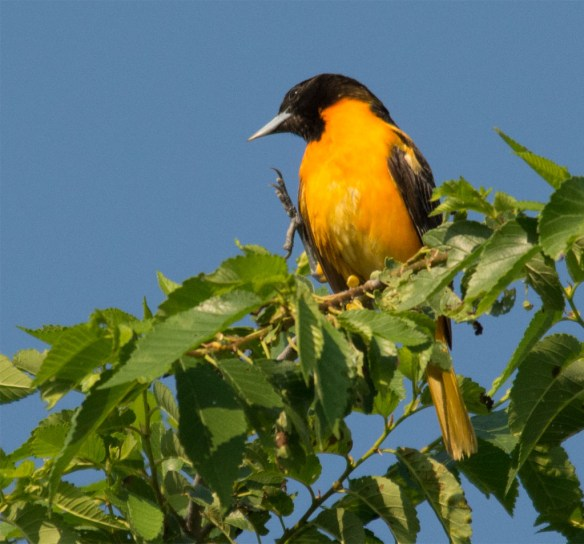 Baltimore Oriole 2016-5