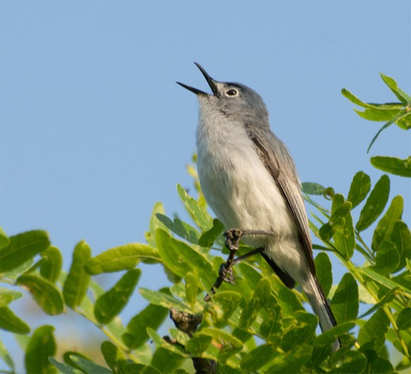 Blue Gray Gnatcatcher 2016-6