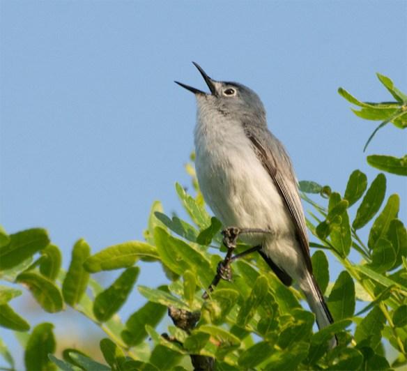 Blue Gray Gnatcatcher 2016-6