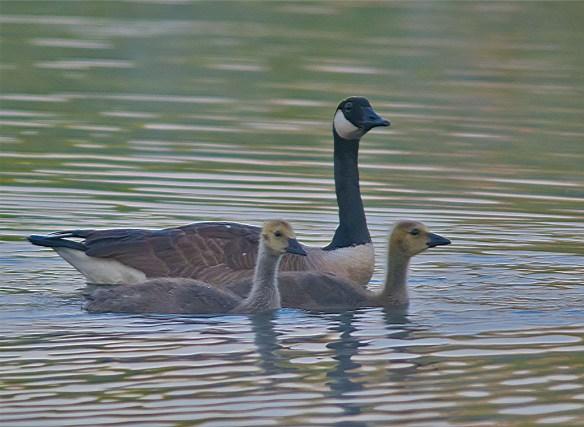 Canada Goose 2016-25