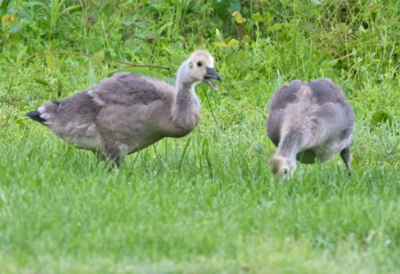 Canada Goose 2016-26