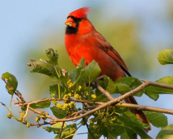 Cardinal 2016-12