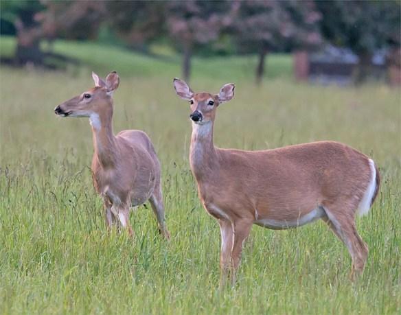 Deer-56