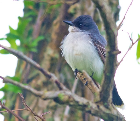 Eastern Kingbird 2016-8
