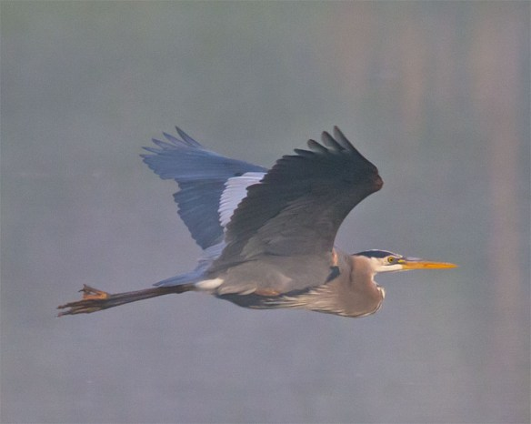 Great Blue Heron 2016-23