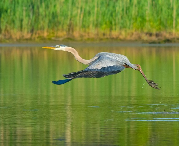 Great Blue Heron 2016-28