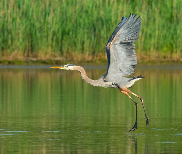 Great Blue Heron 2016-29
