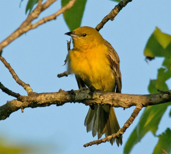 Orchard Oriole 2016-3