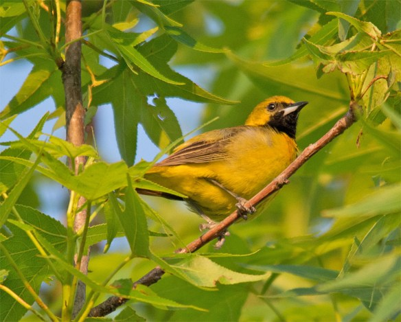 Orchard Oriole 2016-7