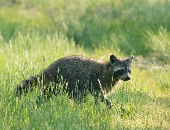 Raccoon 12