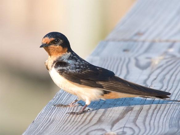 Barn Swallow 2016-24
