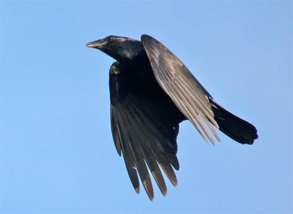 Crow 2016-13