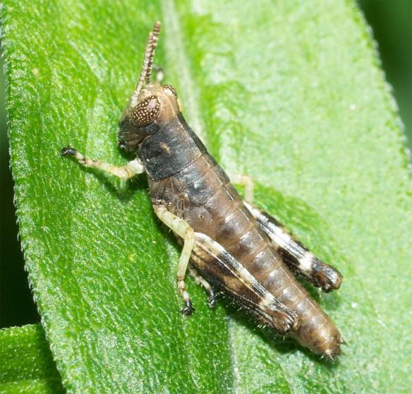 Grasshopper 206