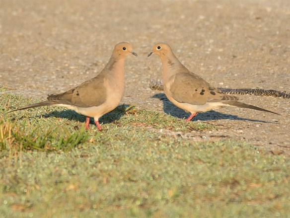 Mourning Dove 2016-7