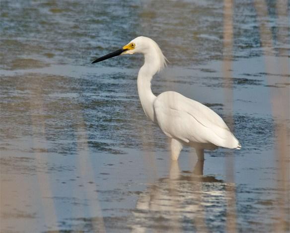 Snowy Egret 2016-13