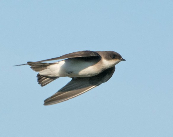 Tree Swallow 2016-75