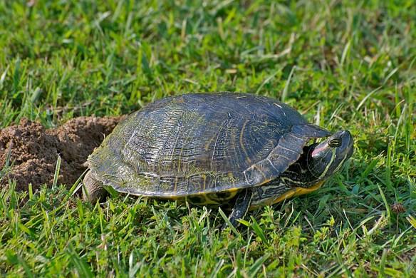 Turtle 61
