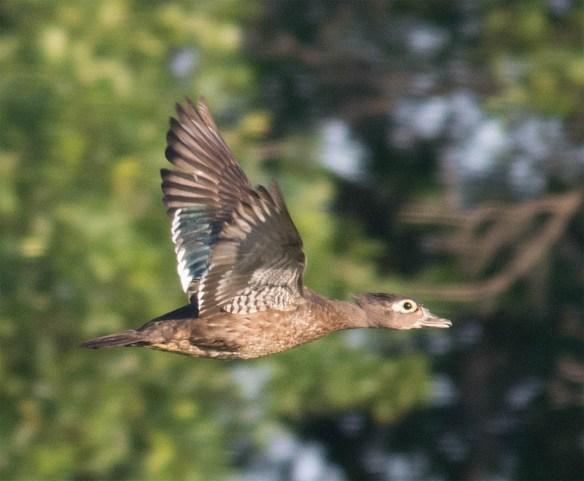 Wood Duck 2016-118