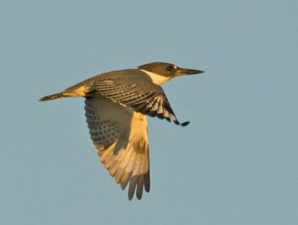 Belted Kingfisher 2016-1