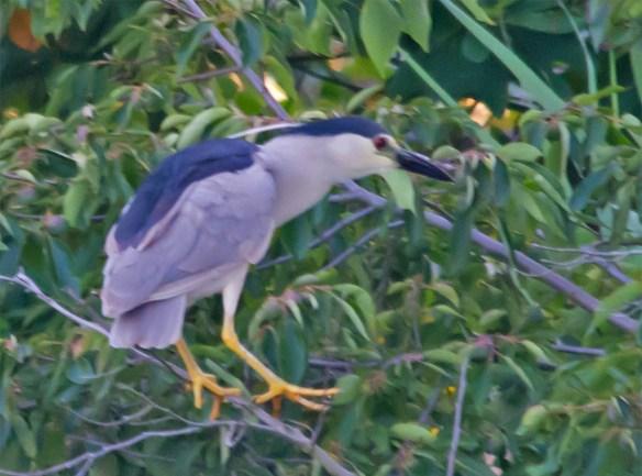 Black Crowned Night Heron 2016-1