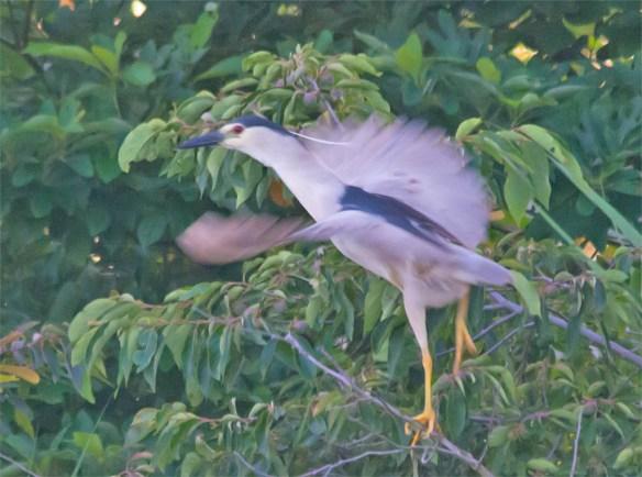 Black Crowned Night Heron 2016-2