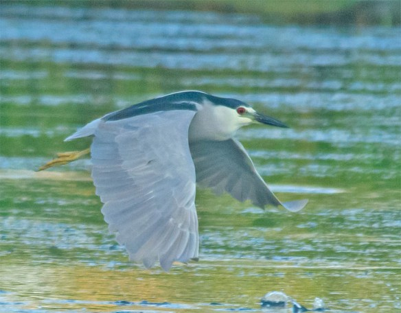 Black Crowned Night Heron 2016-6