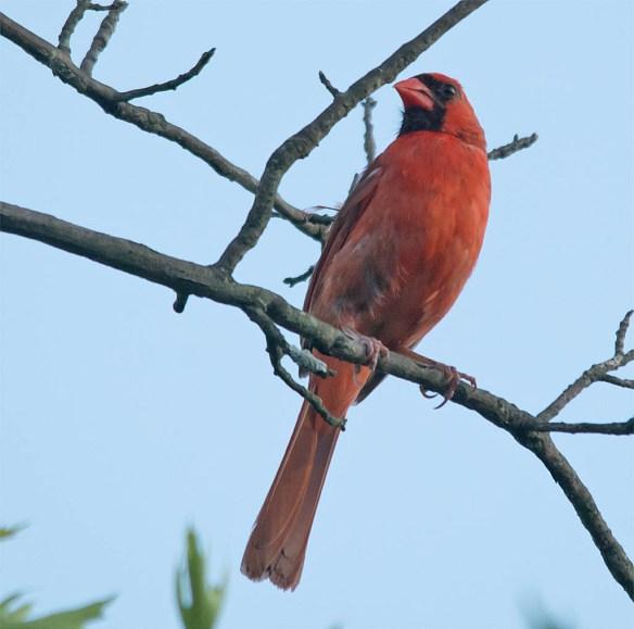 Cardinal 2016-17