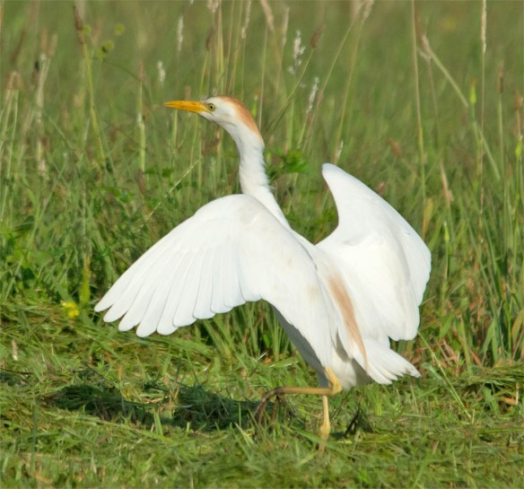 Cattle Egret 2016-18