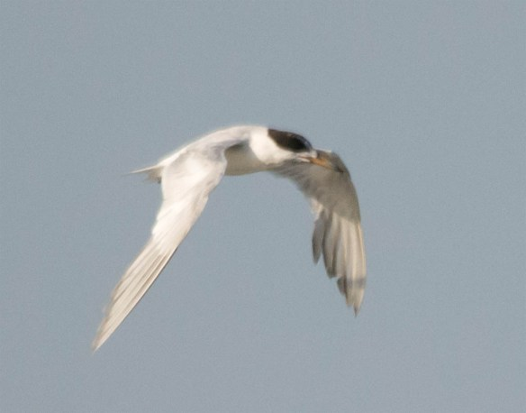 Common Tern 2016-12