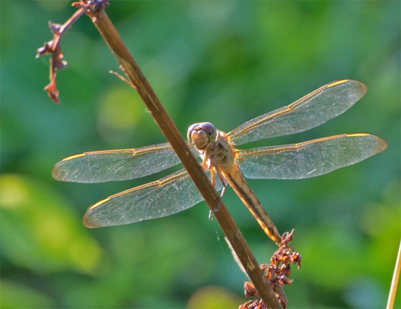 Dragonfly 75