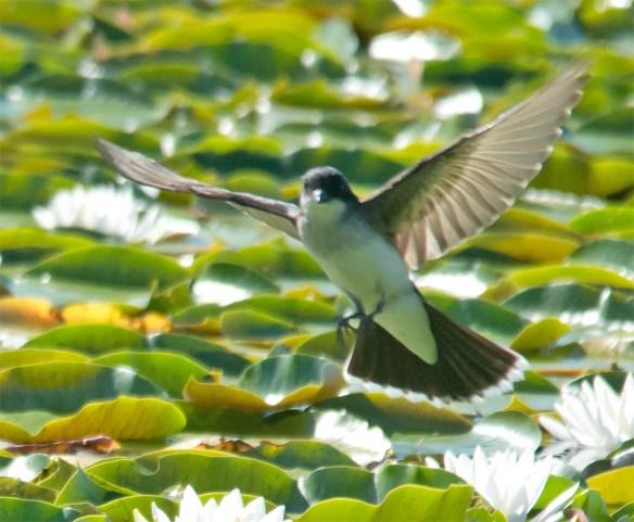 Eastern Kingbird 2016-28