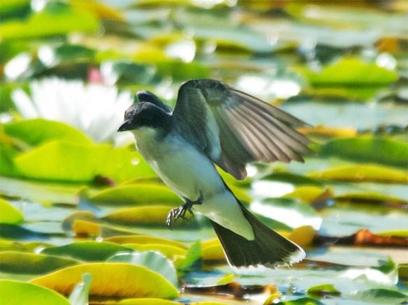 Eastern Kingbird 2016-29