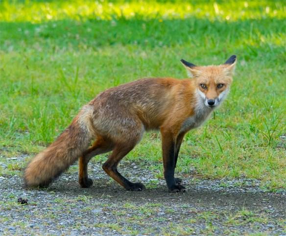 Fox 57