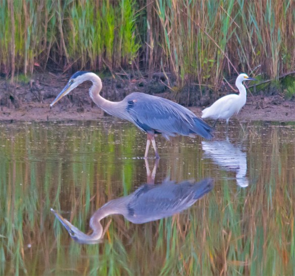 Great Blue Heron 2016-55