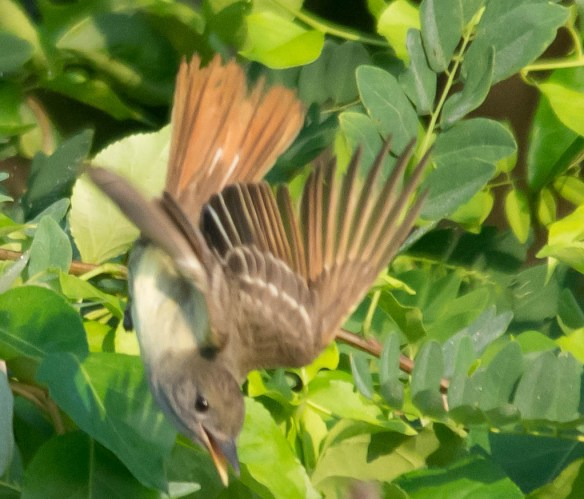Great Crested Flycatcher 2016-12