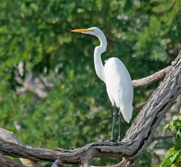 Great Egret 2016-14