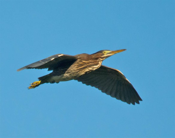 Green Heron 2016-31