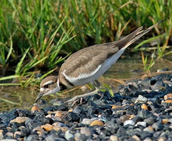 Killdeer 2016-8