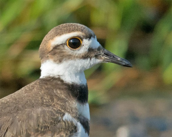 Killdeer 2016-9