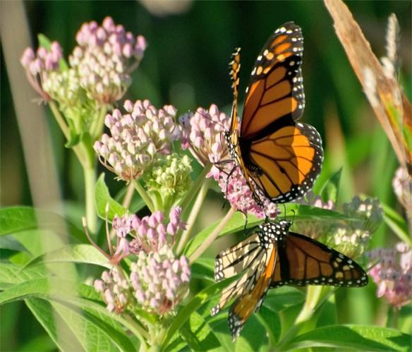 Monarch 24