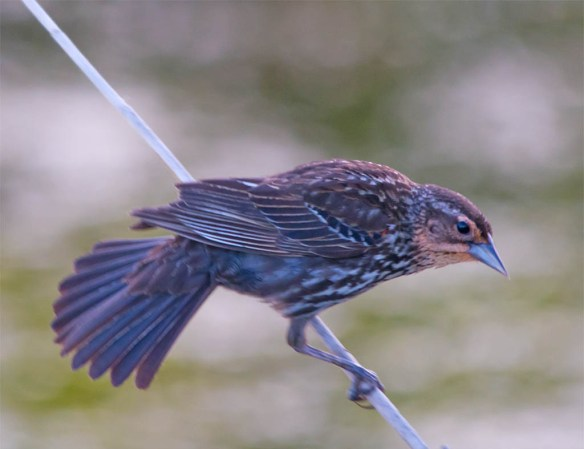 Red Winged Blackbird 2016-43