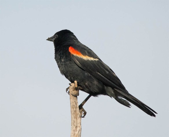 Red Winged Blackbird 2016-51