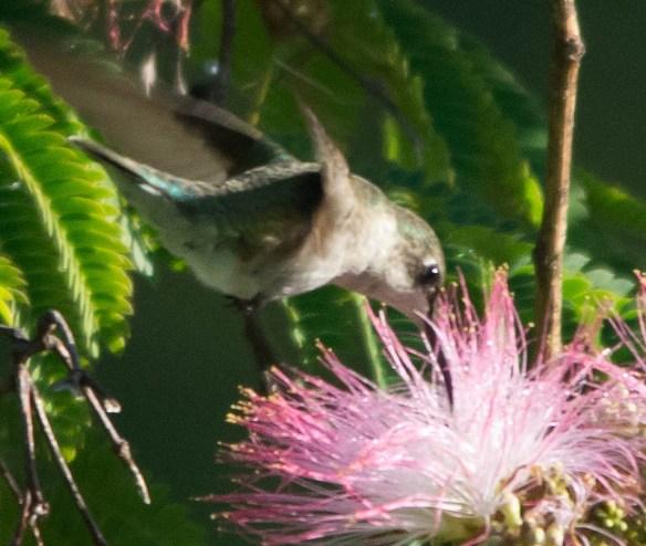 Ruby Throated Hummingbird 2016-12