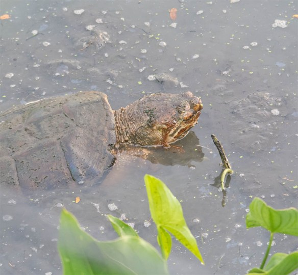 Snapping Turtle 11