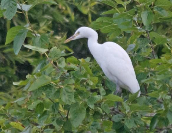 Snowy Egret 2016-38