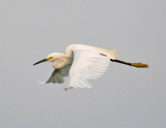 Snowy Egret 2016-39