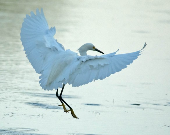 Snowy Egret 2016-43