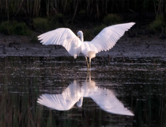 Snowy Egret 2016-52