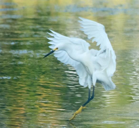 Snowy Egret 2016-60