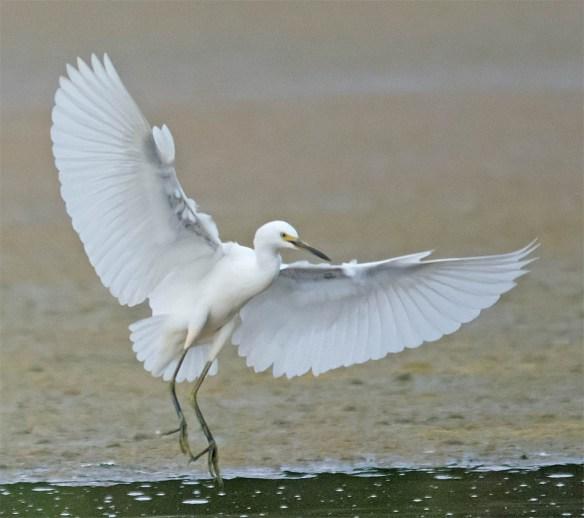 Snowy Egret 2016-64